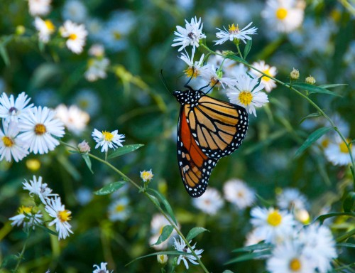 Monarch 2