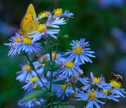 Cloudless Sulphur and bee