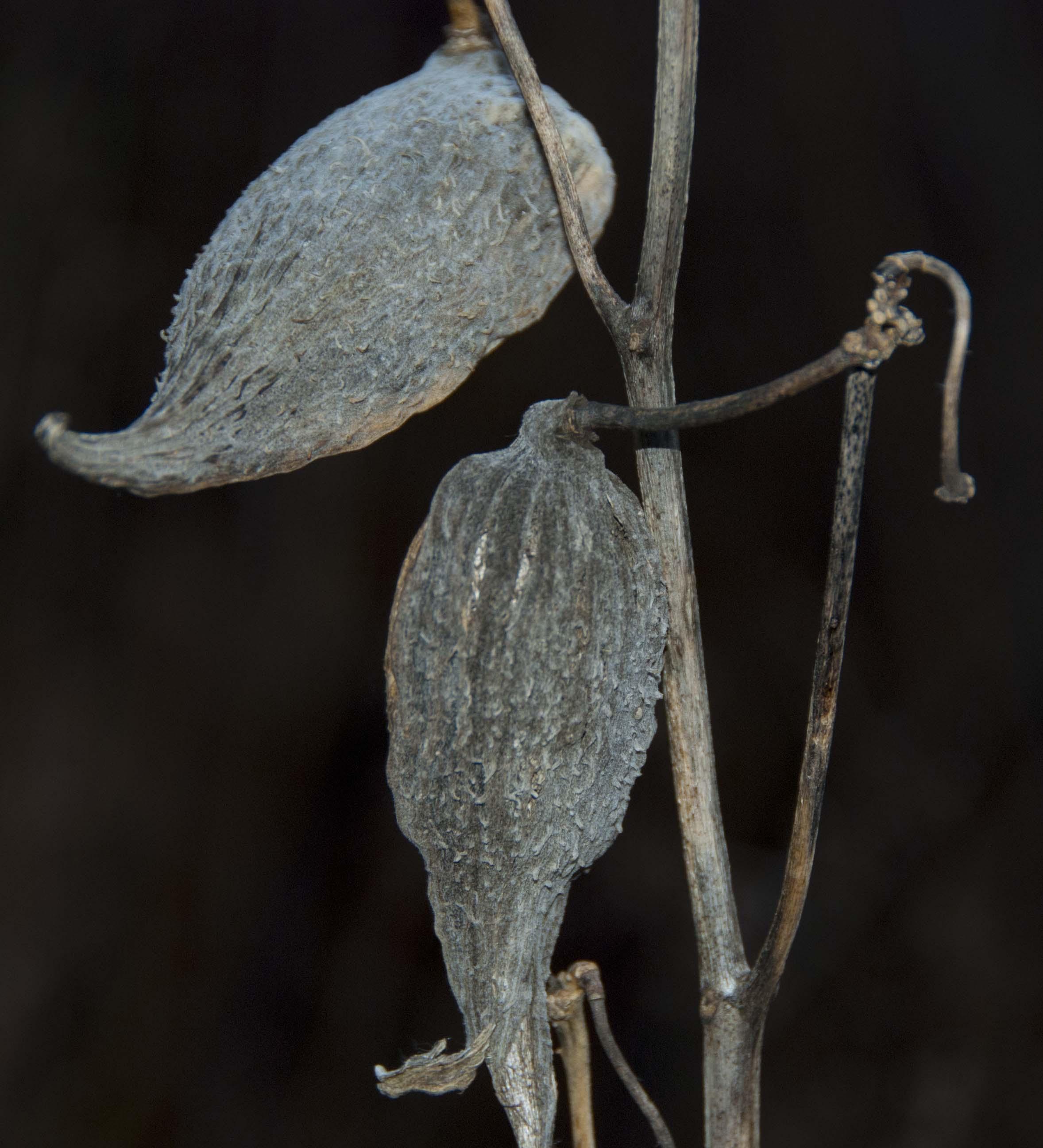 Milkweed Pods Wind Against Current