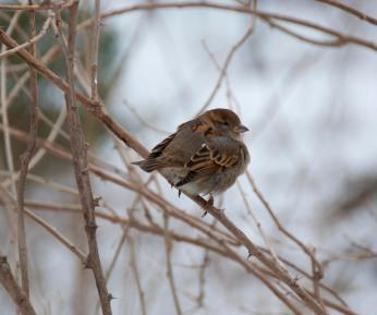 Sparrow, Central Park, NYC