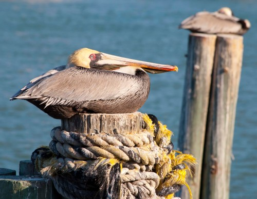 Pelican on top 5