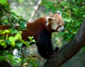 Red Panda, Central Park Zoo, NYC