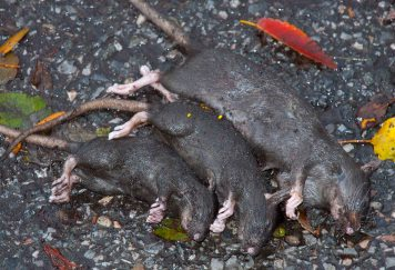 Family of rats after Superstorm Sandy