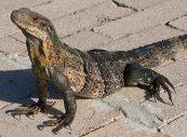 Lizard, Florida