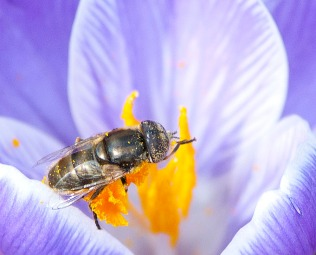 March: Early crocuses and insects in NYC's Central Park