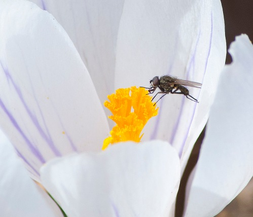 Fly on crocus