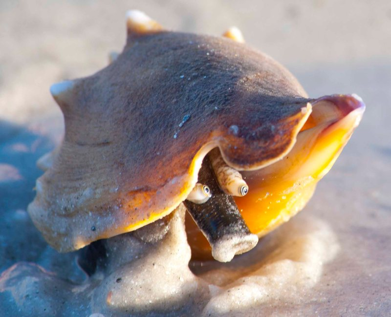 December: Conch emerges from its shell on St. Petersburg Beach, Florida