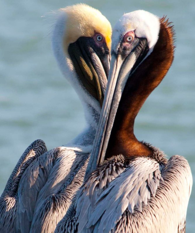 February: Brown pelicans perform a pas de deux near St. Petersburg, Florida