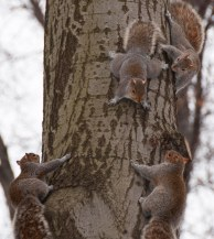 Squirrels, Central Park, NYC