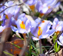 Hidden crocuses