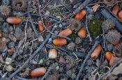 Last year's acorns