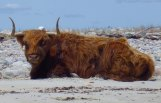 Highland cattle, Elizabeth Islands, Massachusetts