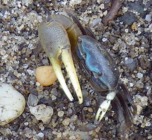 Feisty fiddler crab