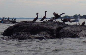 Cormorant (and gull) rock