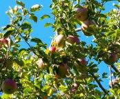 Apples are ripe