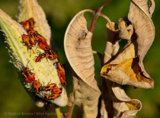 Warning colors (large milkweed bugs)
