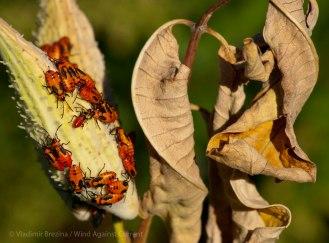 Warning colors (large milkweed bugs)