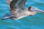 Pelicans 5