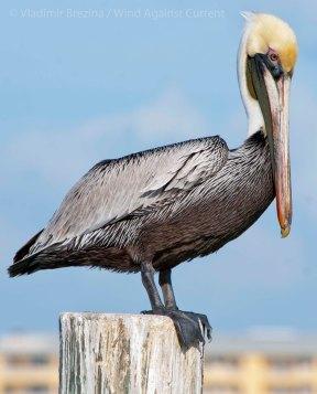 Pelicans 8