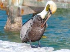 Pelicans 10