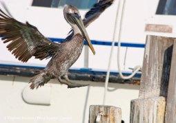 Pelicans 9