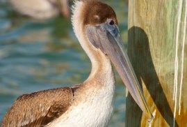 Pelicans 11