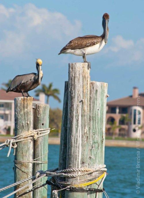 Pelican on top 4