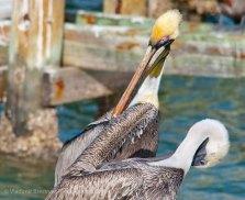 Pelicans 12