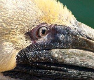 Pelicans 20
