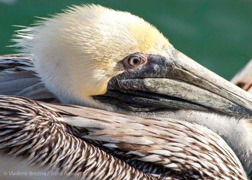 Pelicans 15