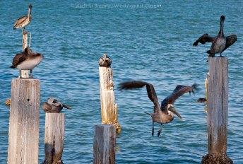 Pelicans, Florida
