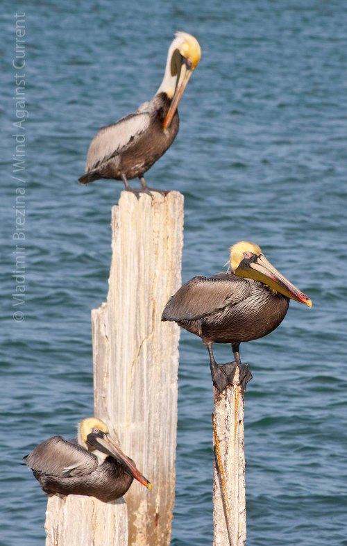 Pelican on top 3