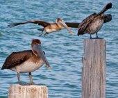 Pelicans 19