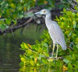 Immature night heron