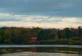 Across the river, migrating geese over red barn