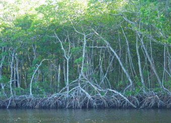 Red mangroves line the banks