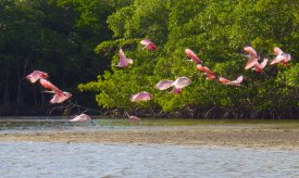 A flock of roseate spoonbills takes off