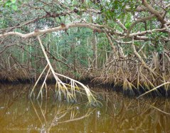 Mangrove-lined banks