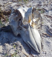 Whale skull at Highland Beach