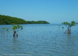 Shoals grow new mangroves