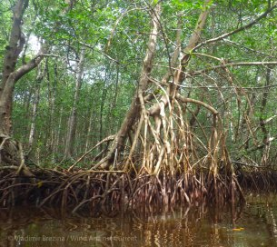 Tangled mangrove roots