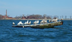 Gull raft, with Hart Island behind