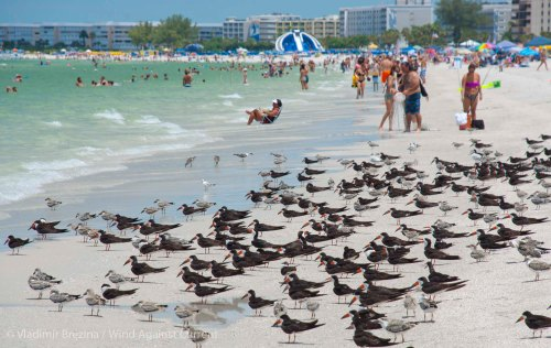 Black skimmers on the beach