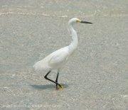 St. Pete Beach birds 3