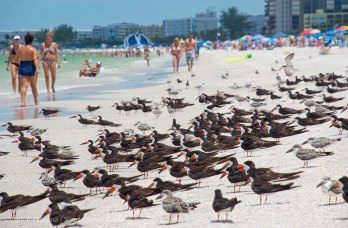 St. Pete Beach birds 7