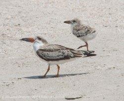 St. Pete Beach birds 13