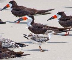 St. Pete Beach birds 14