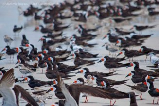 St. Pete Beach birds 12