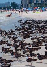 St. Pete Beach birds 6