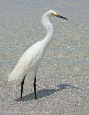 St. Pete Beach birds 4
